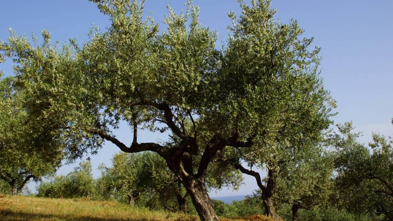Olivenbaum-Pate werden