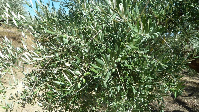 Koroneiki-Olivenöl biozyklisch-vegan